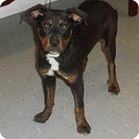 Adopt A Pet :: Samson - Henderson, KY
