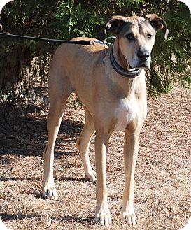 Great Dane Dog for adoption in Gallatin, Tennessee - Hank