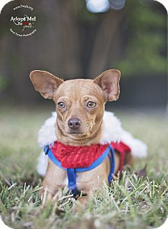 Chihuahua Mix Dog for adoption in Kingwood, Texas - Honey