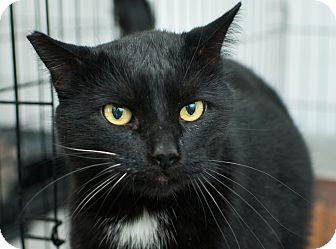 Domestic Shorthair Cat for adoption in Los Angeles, California - Hugo
