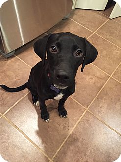 Labrador Retriever Mix Puppy for adoption in Rochester, New Hampshire - Rudy