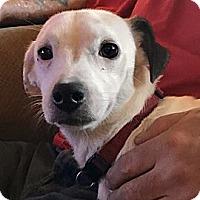 Adopt A Pet :: Whitney - ST LOUIS, MO