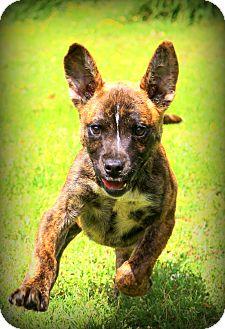 Shepherd (Unknown Type)/Boxer Mix Puppy for adoption in Glastonbury, Connecticut - Roger Rabbit