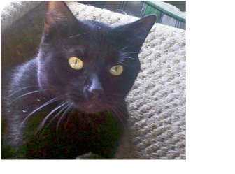 Domestic Shorthair Cat for adoption in Laguna Woods, California - Mork