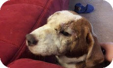 Beagle/Shar Pei Mix Dog for adoption in Madison, Wisconsin - Rusty
