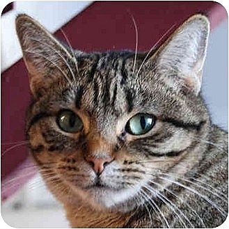 Domestic Shorthair Cat for adoption in Huntley, Illinois - Michelle