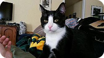 Domestic Shorthair Cat for adoption in Davis, California - Cookie