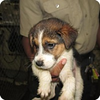 Adopt A Pet :: Nico - Rocky Mount, NC