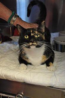 Domestic Shorthair Cat for adoption in Pompano Beach, Florida - Petunia