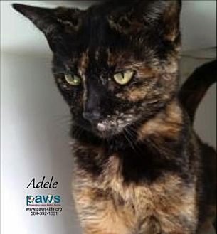 Domestic Shorthair Cat for adoption in Belle Chasse, Louisiana - Adele