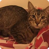Domestic Shorthair Kitten for adoption in Flower Mound, Texas - Cleopatra
