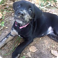 Catahoula Leopard Dog Mix Puppy for adoption in Columbia, South Carolina - Beatrice