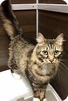 Maine Coon Cat for adoption in Hendersonville, North Carolina - Harley