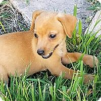 Adopt A Pet :: Ruby - Oakland, CA