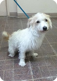Terrier (Unknown Type, Small) Mix Dog for adoption in St. Petersburg, Florida - Buster