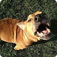 Labrador Retriever Mix Dog for adoption in Jacksonville, Florida - Lily