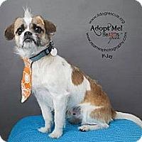 Adopt A Pet :: P-Jay - Shawnee Mission, KS