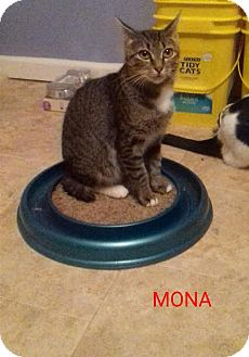 American Bobtail Cat for adoption in McDonough, Georgia - Mona Marvelous Half Tail