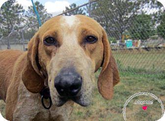 Redtick Coonhound Mix Dog for adoption in Sidney, Ohio - Winston