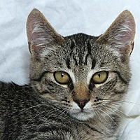 Domestic Shorthair Kitten for adoption in Sacramento, California - Steve L