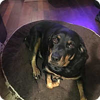 Rottweiler Dog for adoption in Gilbert, Arizona - Bonnie