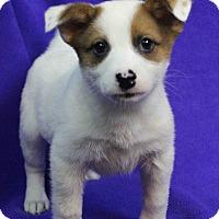 Adopt A Pet :: SKYE - Westminster, CO