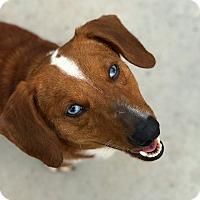 Adopt A Pet :: Roscoe - Hanna City, IL