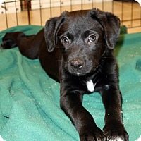 Adopt A Pet :: Cas - Union, CT