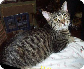 Domestic Shorthair Cat for adoption in Lindenhurst, New York - Ringo