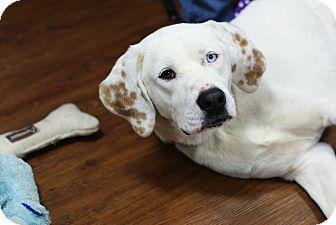 Hound (Unknown Type)/Pointer Mix Dog for adoption in Pocahontas, Arkansas - Sam