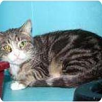 Domestic Shorthair Kitten for adoption in Tucson, Arizona - Blondie #2