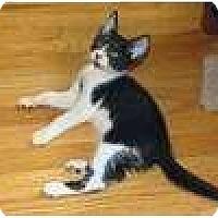 Adopt A Pet :: Tux - New York, NY