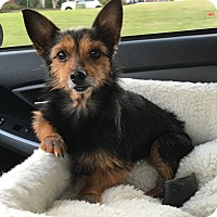 Adopt A Pet :: Bree - Knoxville, TN