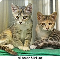 Domestic Shorthair Kitten for adoption in Huntington, New York - Mi Luz 2016173