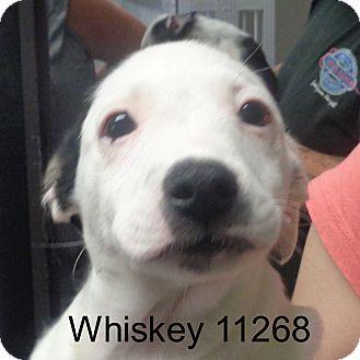 Australian Cattle Dog/Boston Terrier Mix Puppy for adoption in Greencastle, North Carolina - Whiskey