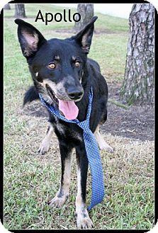 German Shepherd Dog/Hound (Unknown Type) Mix Dog for adoption in Houston, Texas - Apollo