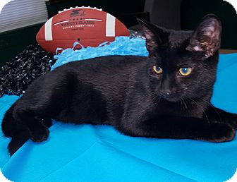 Domestic Shorthair Kitten for adoption in Albemarle, North Carolina - Calvin Coolidge