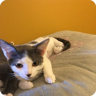 Domestic Shorthair Kitten for adoption in Tampa, Florida - Gina