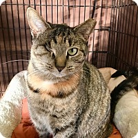 Domestic Shorthair Cat for adoption in Lambertville, New Jersey - Cinnamon