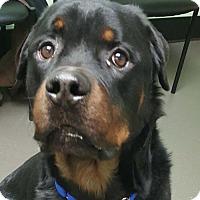 Adopt A Pet :: Bogey - Hillsboro, NH