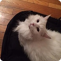 Adopt A Pet :: Boo - bridgeport, CT
