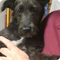 Adopt A Pet :: Scotty($300) - Redding, CA