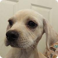Adopt A Pet :: Teresa ADORABLE Puppy - St Petersburg, FL