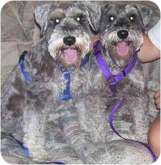 Schnauzer (Miniature) Dog for adoption in Chandler, Indiana - Willie
