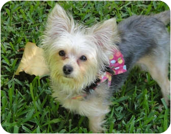 Yorkie, Yorkshire Terrier/Maltese Mix Puppy for adoption in West Palm Beach, Florida - Pixie