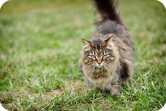 Domestic Longhair Cat for adoption in St. Louis, Missouri - Nancy