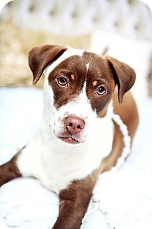 Beagle/Terrier (Unknown Type, Medium) Mix Dog for adoption in Homewood, Alabama - Petunia