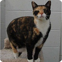 American Shorthair Cat for adoption in SHARONVILLE, Ohio - Jolie