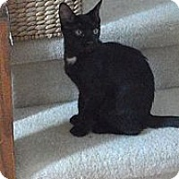 Adopt A Pet :: Cricket (nighttime cuddler) - Sterling Hgts, MI