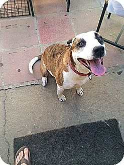 Pit Bull Terrier/Hound (Unknown Type) Mix Dog for adoption in Monrovia, California - Kanani